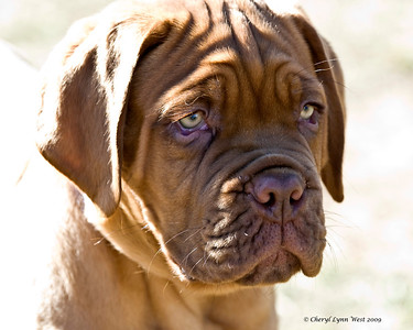 Moses, an 11 week old Dogue de Bordeaux puppy dog