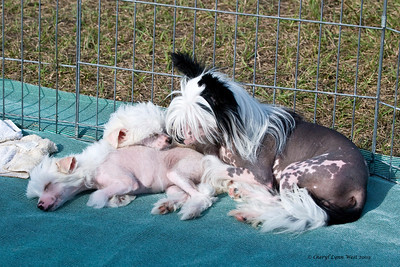 Chinese Crested mother and pups