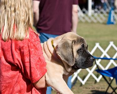 """Mastiff puppy - """"I'm not heavy - yet."""""""