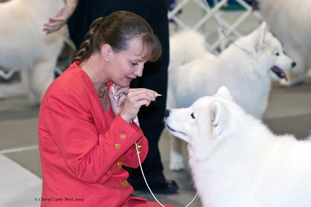 Laura Coombs gets Kiska's attention in the ring with a bit of chicken.  Kiska (CH White Gold's Destined to Dazzle) took Best of Opposite Sex in the Jacksonville show on January 4th.  She is owned and bred by Laura Segers.