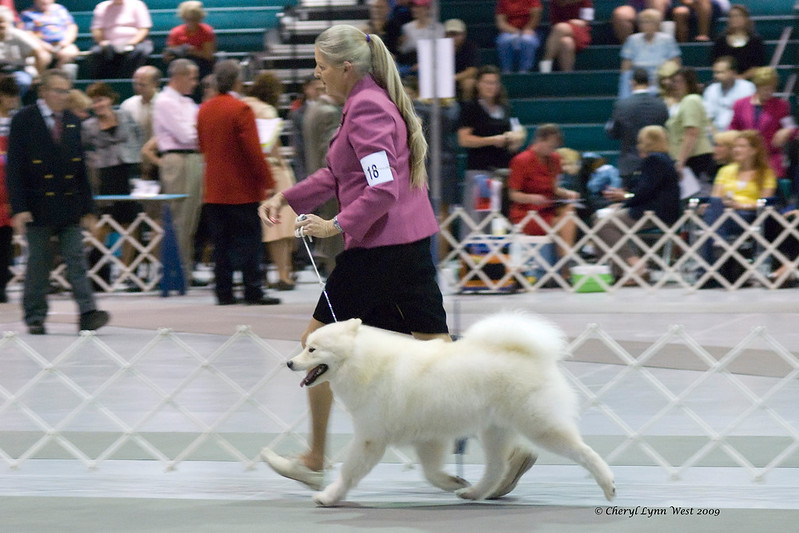 Rhapsody Silverivr Aspen Nites, a Samoyed bitch, is owned by Karyn Kramer & Nancy Kraus.  Ashley is shown by Connie Sager, agent.