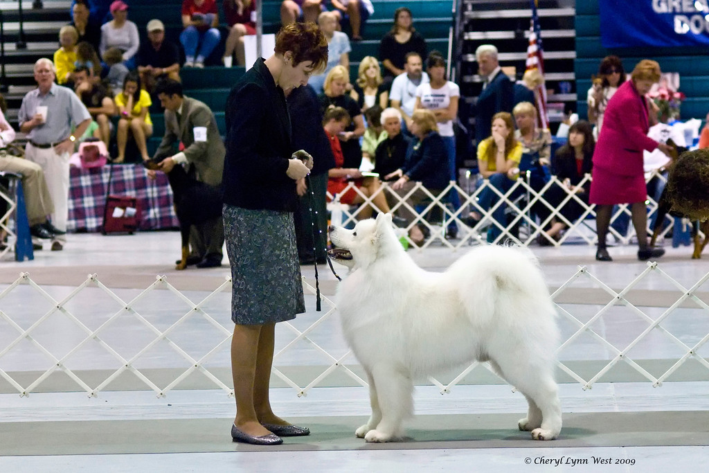 CH Polar Mist Could It Be Magic, a Samoyed male, is owned by Bruce King & Kathleen Cloonan.  He is shown by Nicole King, agent.