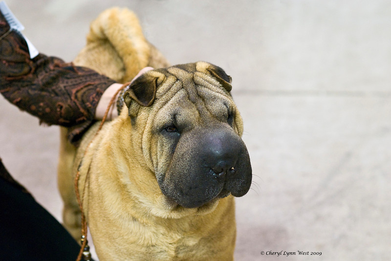 T'aibet Bell Lucky Blaze Monet, a Chinese Shar-Pei bitch, is owned & shown by Ann Matto.