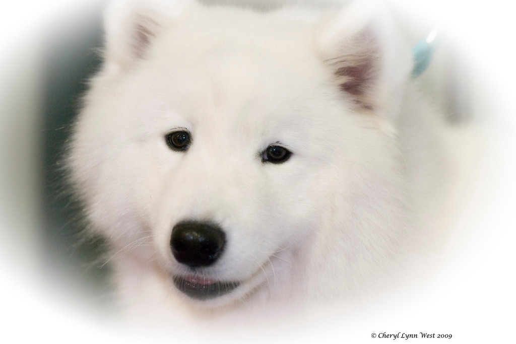 CH White Gold's Destined To Dazzle (Kiska), a Samoyed bitch