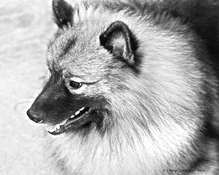 Keeshond - pencil sketch