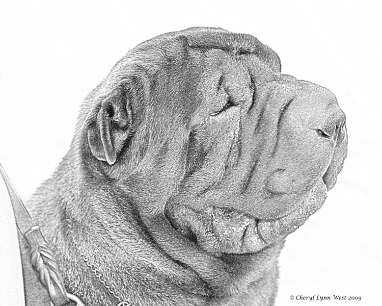 Chinese Shar-Pei - pencil sketch