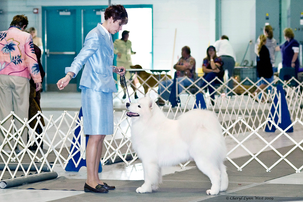 CH Polar Mist Could It Be Magic, a Samoyed male, competed in the Best of Breed competition.  He is owned by Bruce King & Kathleen Cloonan, and shown by Nicole King, agent.