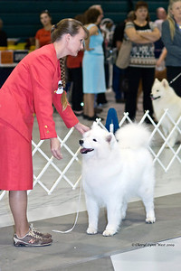 Kiska's handler, Laura Coombs, keeps one eye on the judge while making sure that Kiska looks her best.  Kiska (CH White Gold's Destined to Dazzle) took Best of Opposite Sex in the Jacksonville show on January 4th.  She is owned and bred by Laura Segers.