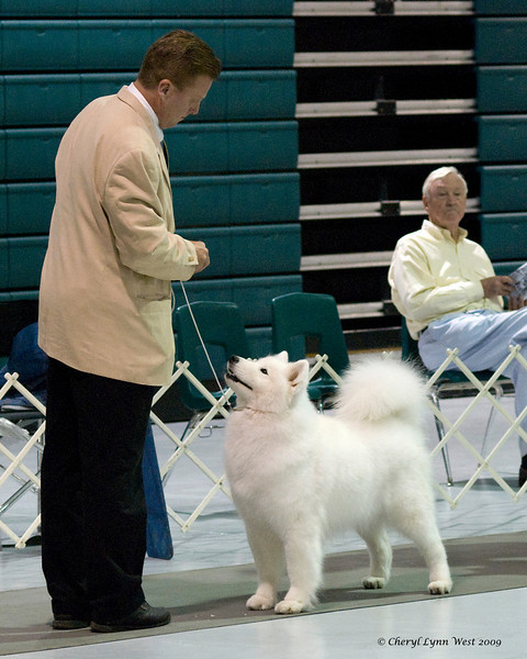 CH White Gold's Destined To Dazzle, a Samoyed bitch, baits for her handler, Charlie Coombs.  Kiska is owned by breeder, Laura Segers.