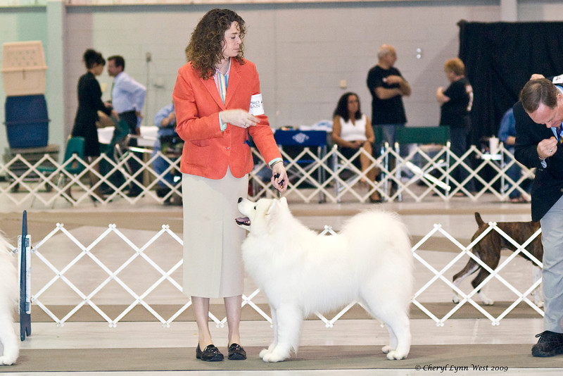 CH Rexann's Excalibur, a Samoyed male, took Best of Breed on January 2nd & Best of Opposite Sex on January 3rd.  Arthur is owned by Gail & Larry Bilmar & shown by Chris Jones, agent.