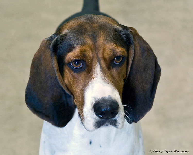 The Treeing Walker Coonhound is one of the newest breeds eligible for competition in the Miscellaneous class.  This fine specimen is CSG Bolt Action High Roller, who is already a UKC Grand Champion.  He is owned by Bonnie Lynne Davis, who said that Gator excels at treeing raccoons, true to his breed.