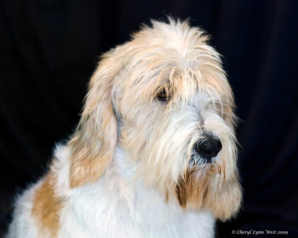 CH Rokeena Carte Blanche, a Petit Basset Griffon Vendeen, took Best of Breed.  He was handled by Jane Alston-Myers, DHG.