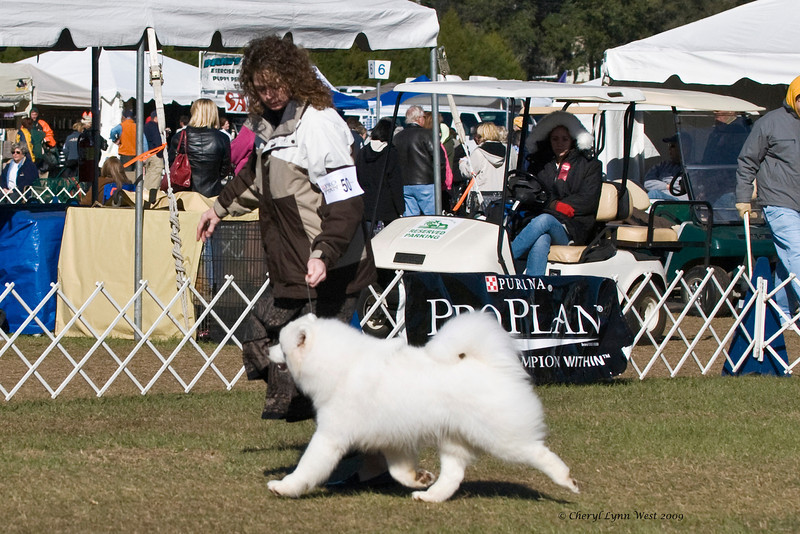 Rexann's Ring O'Daisies competed in the 6 - 9 months Puppy Bitch Class and took Winners Bitch & Best of Winners for a three point major at the Samoyed Fanciers of Central Florida specialty.  She is owned by Kathy Bube & Ng Man Kit & shown by Chris Jones, Agent.