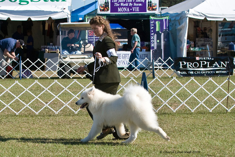 Rapture's Indiana Jones At Vancroft & Bullet was entered in the 9 to 12 month Puppy Dog class and is owned by Judy & Bill McDougall & D Cark & Dr J Royce DO