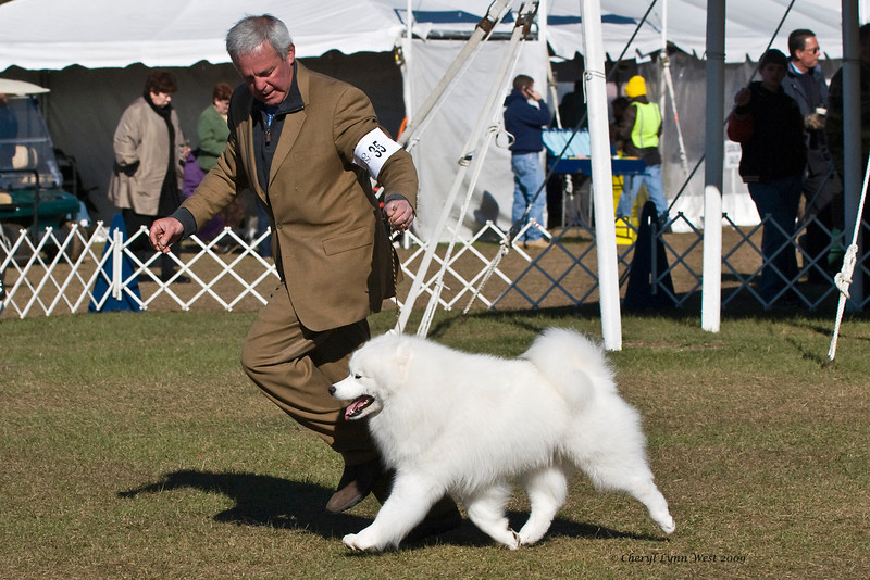Ch Pebbles' Run Hammy Davis Jr, a male Samoyed, won Best of Breed at the Samoyed Fanciers of Central Florida specialty and went on to take Group 4 in the Working Group.  Hammy is owned by Amy Kiell-Green & Andrew Green, who handles him.