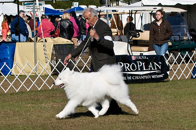 Ch Mystiwind's Hidden Treasure. a male Samoyed, received an Award of Merit at the Samoyed Fancers of Central Florida Specialty.  Cache is owned by Jeanne St John and shown by Joe Napolitano, Agent.