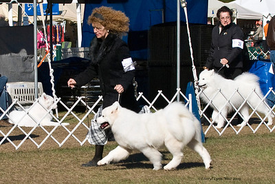 Ch Selene Of Inn Wang San KR took Best of Opposite Sex at the Samoyed Fanciers of Central Florida specialty.  She is owned by Eui-Beom Son.