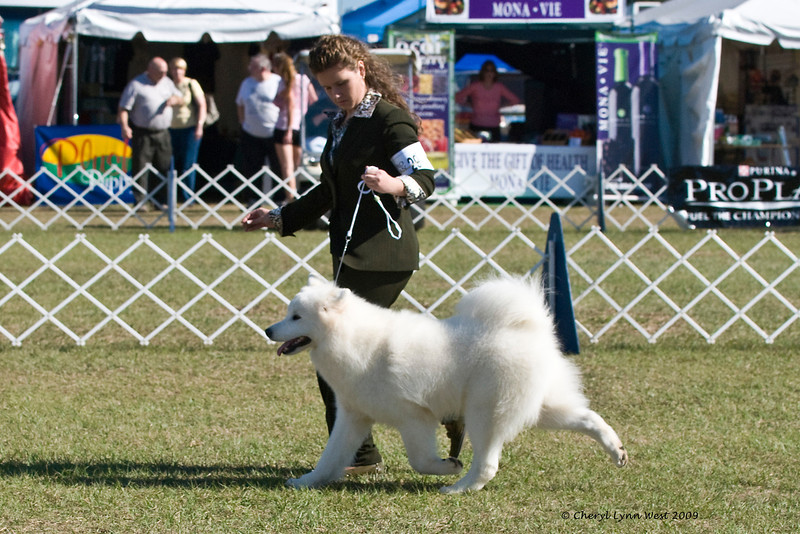 Rapture's Indiana Jones At Vancroft & Bullet was entered in the 9 to 12 month Puppy Dog class and is owned by Judy & Bill McDougall & D Clark & Dr J Royce DO