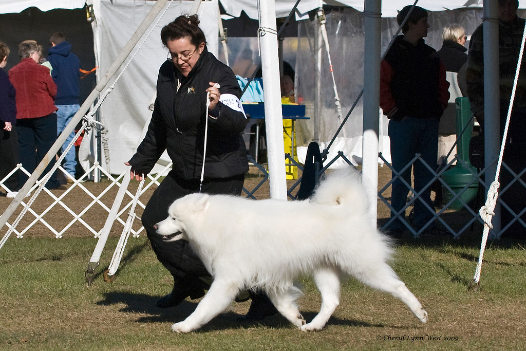 Ch Rapture's Moustan Of Kenway, a male Samoyed, competed in Best of Breed at the Samoyed Fanciers of Central Florida specialty.  Moustan is owned by John & Julie Jeffries & Judy & Bill McDougall and shown by Dr Jacqueline Royce, D.O.