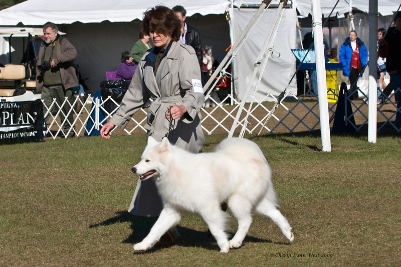 Ch Snopack's Mister Big Shot competed in Best of Breed at the Samoyed Fanciers of Central Florida specialty.  Shooter is owned by Gary & Ada Jones and is shown by Ada Jones.