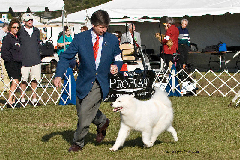 Padako's Cherished Dream Come True competed in the Open class, taking two majors and a Best of Breed.  Cherished is owned by Paula & David Bowie & shown by Robert McAteer, Agent.