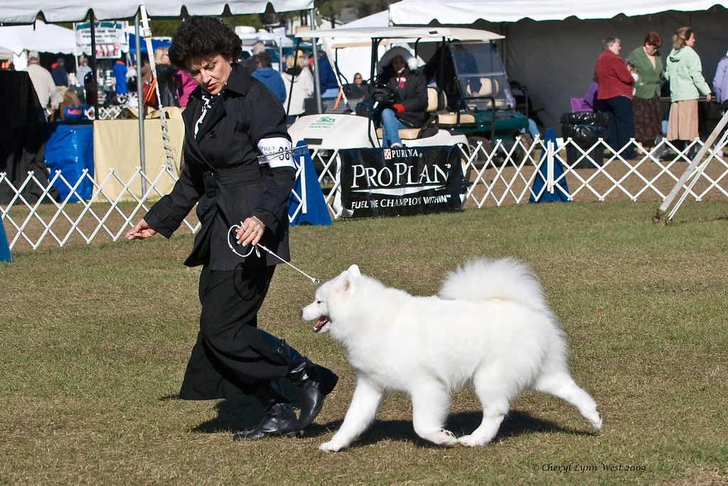 Ch Hawkwind's Emerald Comet, a Samoyed Bitch, competed in Best of Breed.  Haley is owned by Debra & Gary Stolz & Susan Black.