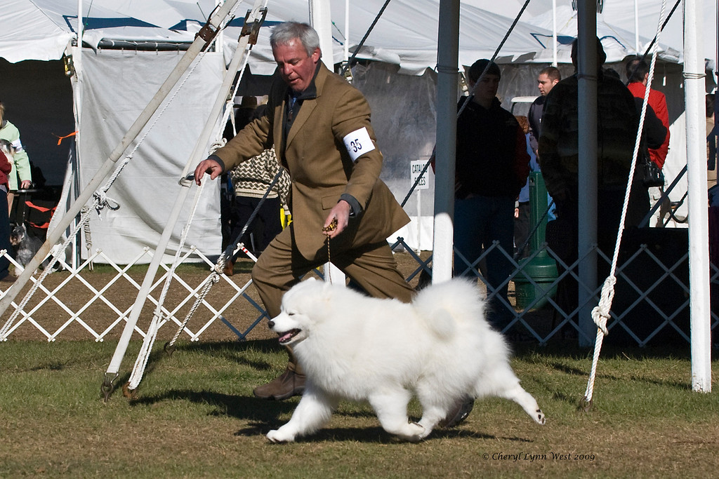 Ch Pebbles' Run Hammy Davis Jr, a male Samoyed, won Best of Breed at the Samoyed Fanciers of Central Florida specialty and went on to take Group 4 in the Working Group.  Hammy is owned by Amy Kiell-Green & Andrew Green, who handles him. January 10, 2009