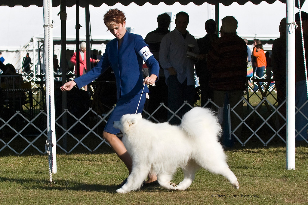 El-Al's Piper Cub took Winners Dog.  He is owned by Elsie Buhaly & Monica Hackett & shown by Nicole King, Agent.