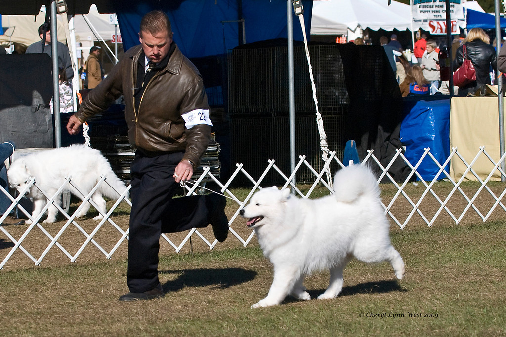 Ch White Gold's Destined To Dazzle, a Samoyed bitch, competed in Best of Breed at the Samoyed Fanciers of Central Florida specialty.  She is owned by her breeder, Laura Segers and handled by Charles S Coombs, Agent.