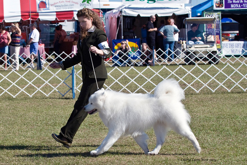 Ch Rapture's Moustan Of Kenway, a Samoyed, finished his championship by going Best of Winners for a major.  Moustan is owned by John & Julie Jeffries & Judy & Bill McDougall.  He is shown by Danielle Butler, Agent.