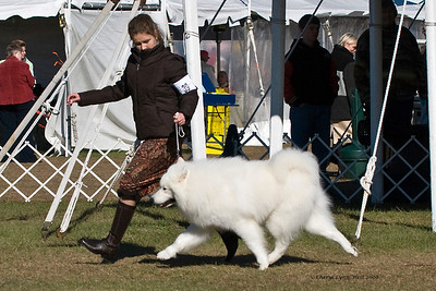 Ch Rapture's Visual Excitement, a male Samoyed, competed in Best of Breed at the Samoyed Fanciers of Central Florida specialty.  Tracer is owned by Marvin & Joan Borngraber & Judy & Bill McDougall.
