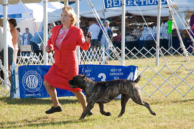 Mar E Sol's Ramona, a Cane Corso bitch, is owned by Jaems & Dnna Garritani.