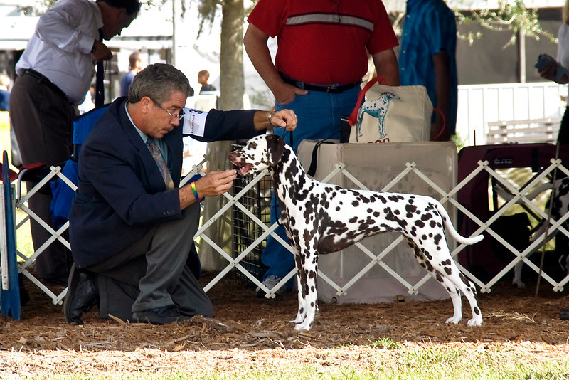 CherMar's Princess Perdita, a Dalmatian, competed in the Open. Liver Spotted Bitch class at the Greater Ocala Dog Club shows.  She is owned and loved by Daniel Brumfield & Cheryl Worden Coe.  Perdita is being shown by Gary Sheetz, agent.