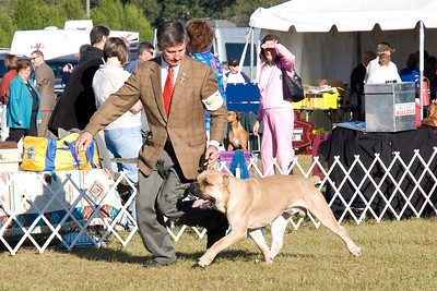 ScandifioNDarkstone's Raptor, a Cane Corso male, is owned by Anthony Carfagna & Betty osing & Bryon Osing.  He is being handled by Robert McAteer, Agent, and took Best of Breed.
