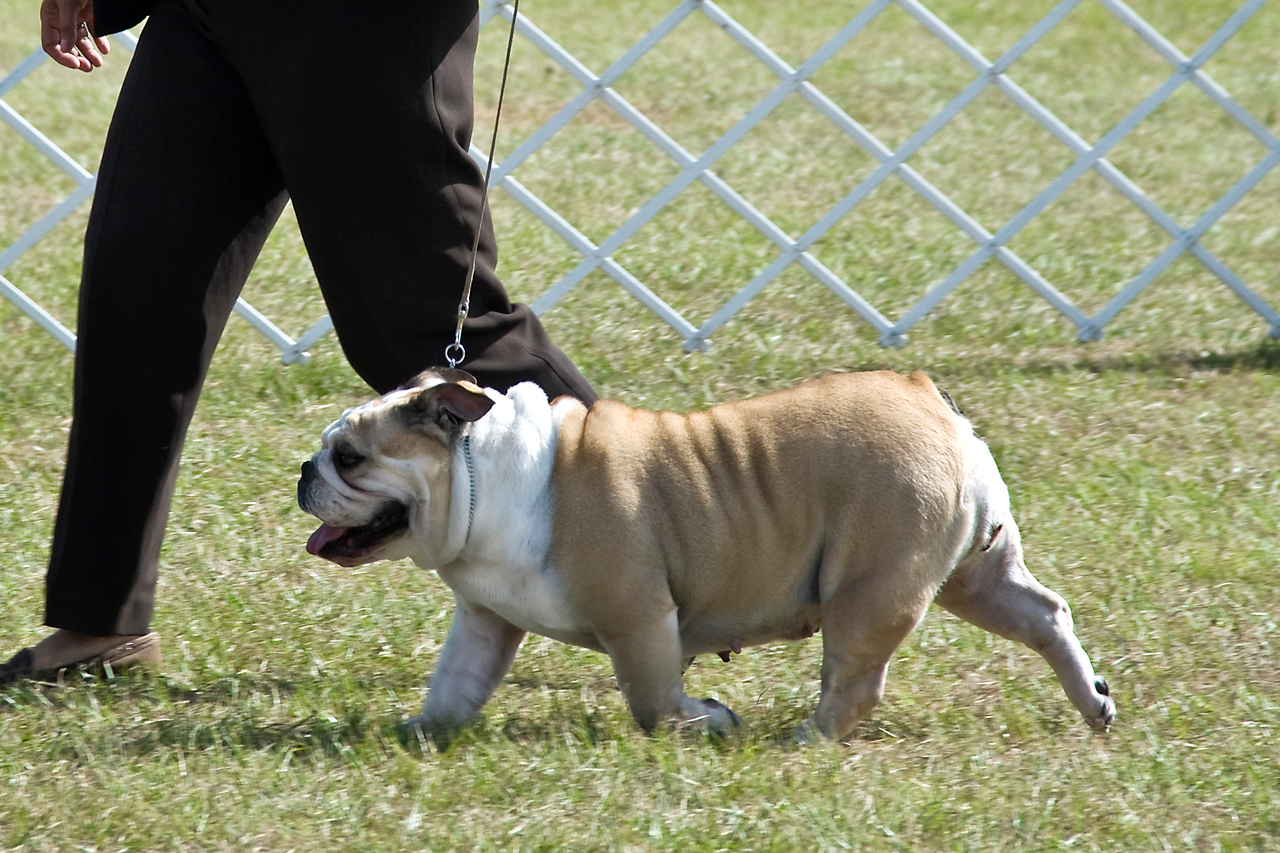 Saras Lock Ness Chico, a Bulldog, competed in the Open Bitch class.  She is owned by Tammy Banks and shown by Fran Marro.