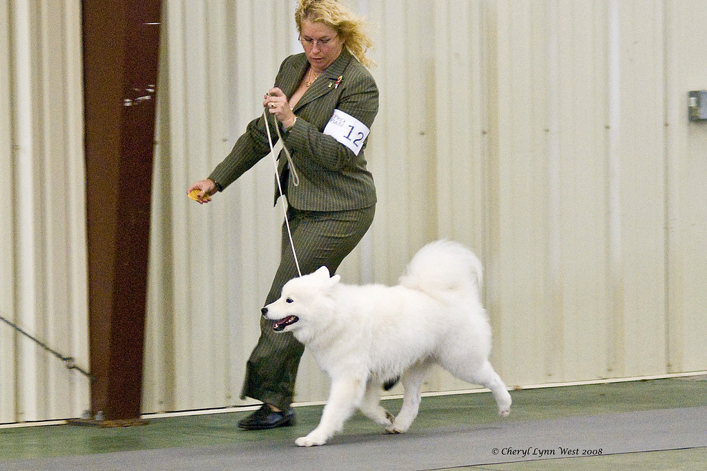 White Gold's Joy Of Emberglow, a Samoyed, won Winners Bitch at the Brevard Kennel Club show.  Joy is owned by Georgann & LaWayne Wyatt.