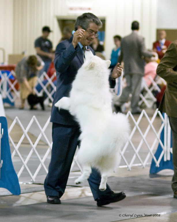 CH Castle's Rasia of White Gold, a Samoyed bitch, competed in the Orlando shows.  Rasia is owned and bred by Cheryl Lynn West & handled by Gary Sheetz.