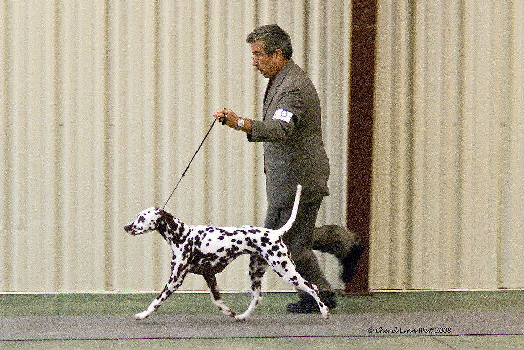 CH Chermar's Princess Perdita, a Dalmatian, went Best of Opposite Sex, her first time out as a special, at the Central Florida Kennel Club show.  Perdita is owned by Daniel Brumfield and Cheryl Worden Coe.  She is handled by Gary Sheetz, agent.