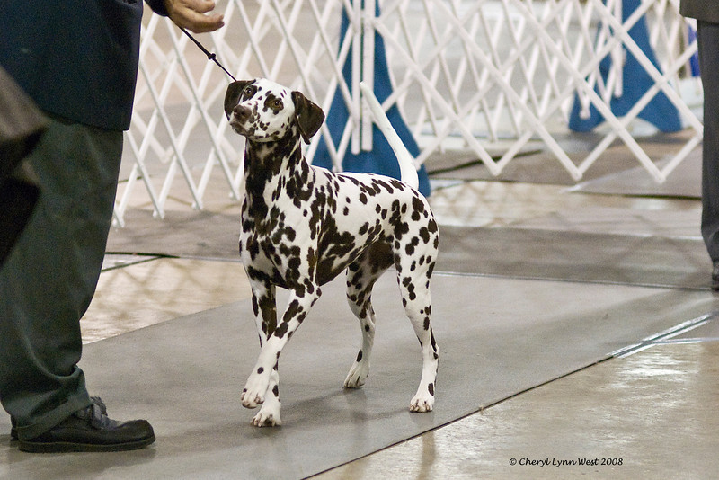 CH Chermar's Princess Perdita, a Dalmatian, went Best of Opposite Sex at the Brevard Kennel Club show.  Perdita is owned by Daniel Brumfield and Cheryl Worden Coe.  She is handled by Gary Sheetz, agent.