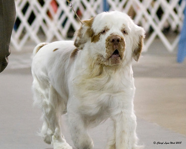 #11 - Ch Wild Cherry's Stutz Bearcat, a Clumber Spaniel, competed in the Orlando shows.