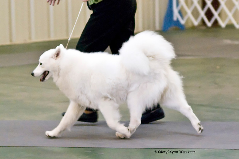 White Gold's Kick'N Ice Of DJ, a Samoyed, competed in the Bred-By-Exhibitor Bitch class.  Kiva is owned by Laura M Segers.