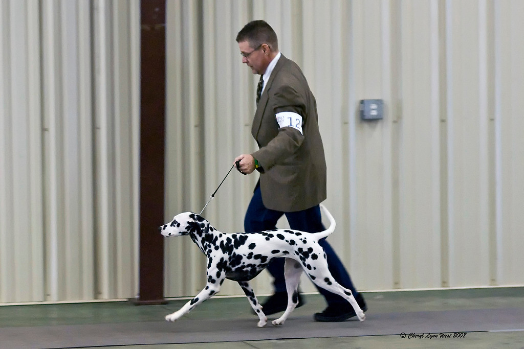 #12 - Cher Mar Atls Pudd'n On The Ritz, a Dalmatian, competed in the 12 - 18 month bitch class.  Pudd'n is shown by Daniel Brumfield and onwed by Cheryl Worden, Emily Hoover  Buddy Coe.
