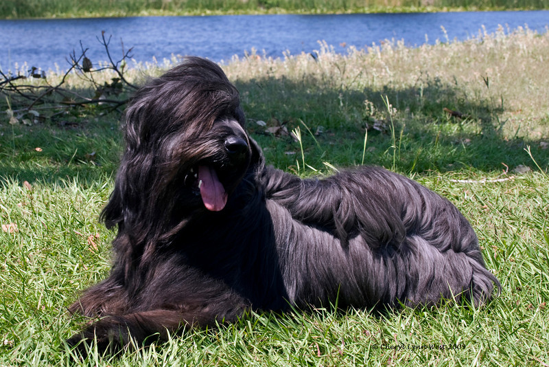 Int CH Loreliei El Xargall CGC, HT, JHD-s, a Briard bitch, is owned and shown by Michelle Holmes.