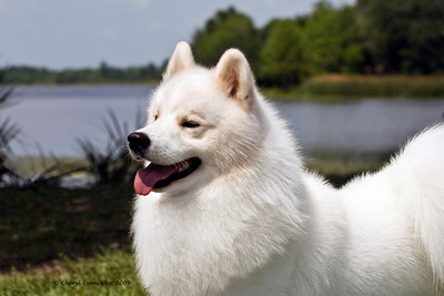 Cold Smoke's Jackson Hole, a Samoyed male, is owned, bred and handled by Janice McGlashon.