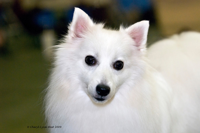 Iris Of Rhythm Red JP, a Japanese Spitz bitch, is owned by Kayo & Eric Johnson.  This breed is said to be intelligent, cheerful, keen in sense, but not noisy.