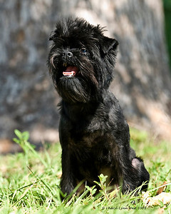 Mani, an Affenpinscher, is owned and loved by Lois Brockson.  His registered name is Moki-Way Mini Mani.