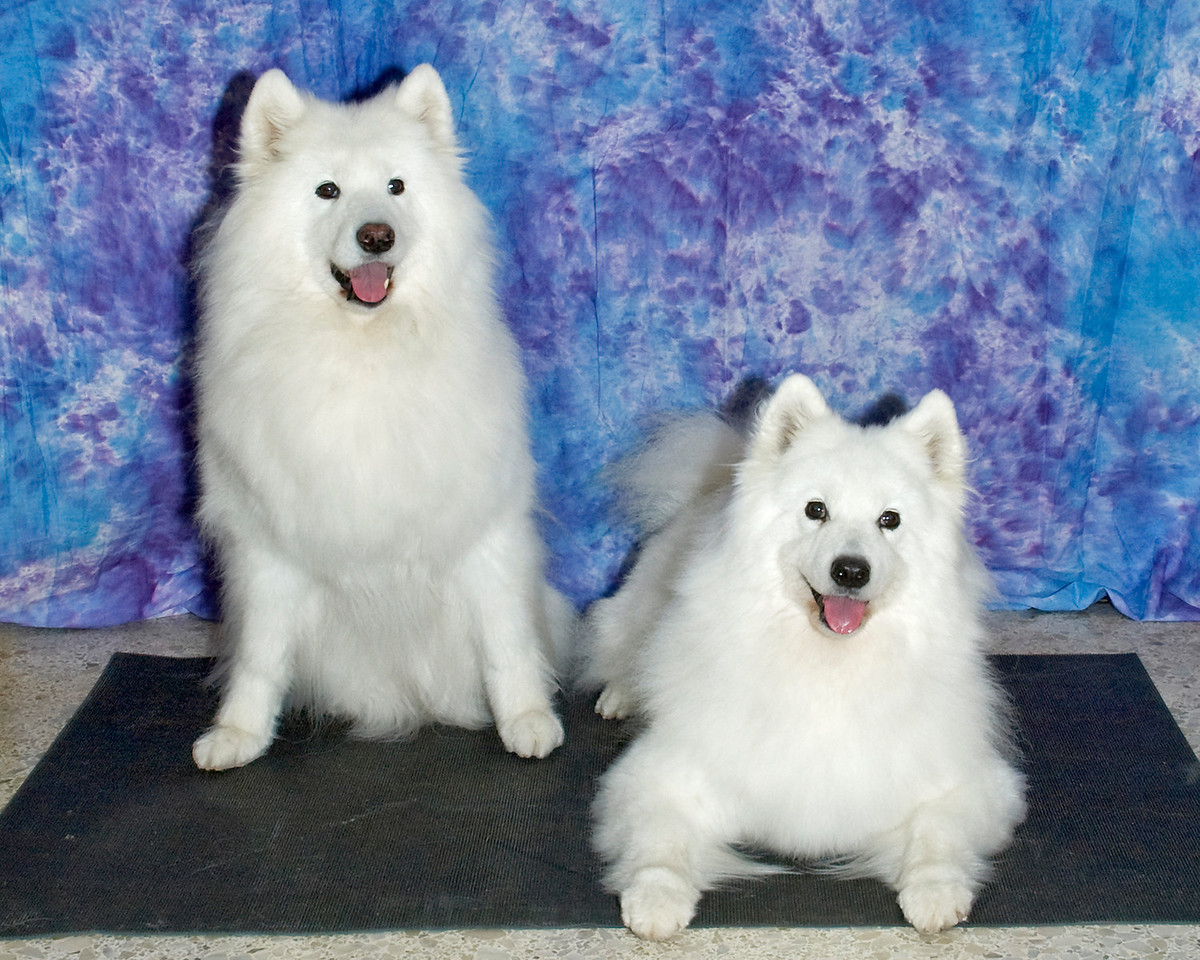 Deirdre and Skye show off their beautiful Samoyed smiles.