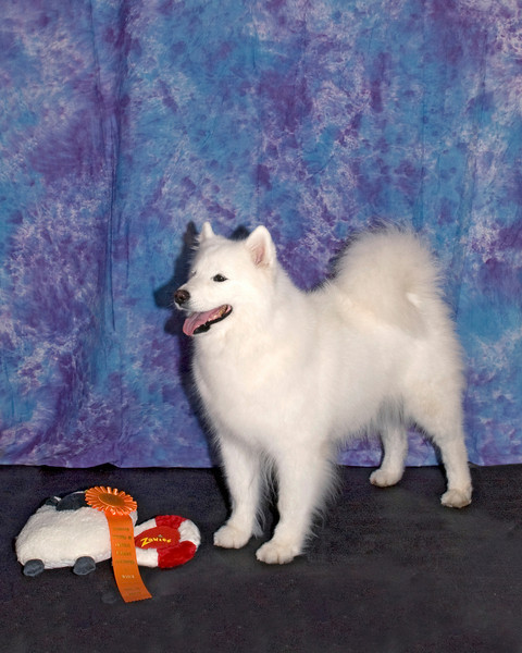 Laura Segers' girl, Breeze, won Best of Breed Veteran.  Breeze's registered name is CH White Gold's Bluestorm Breeze.