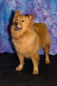Red Dog, a Chow mix, enjoys watching the Samoyeds at the match.  He is owned and loved by Diana Steele.