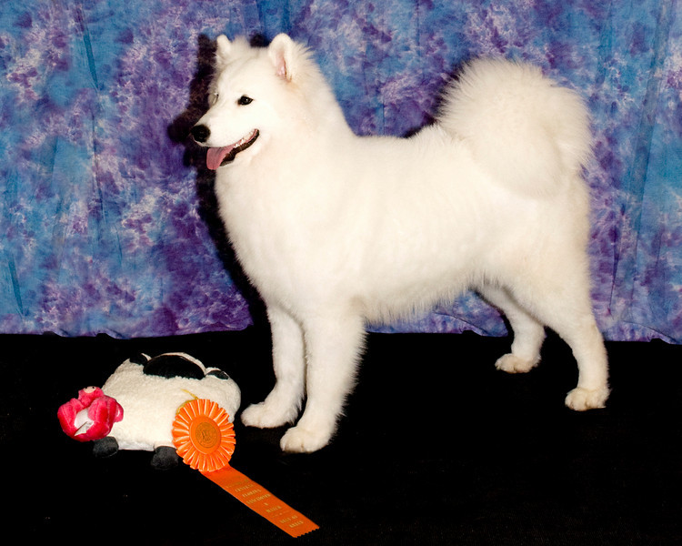 Laura Segers' girl, Kiva, won Best of Breed Senior Puppy.  Kiva's registered name is White Gold's Kick'N Ice of DJ.